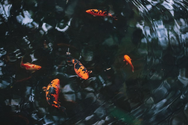 อาหารปลาคาร์ฟเร่งสี